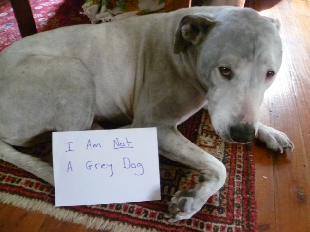 I Am Not A Grey Dog This Is Boots Texas He