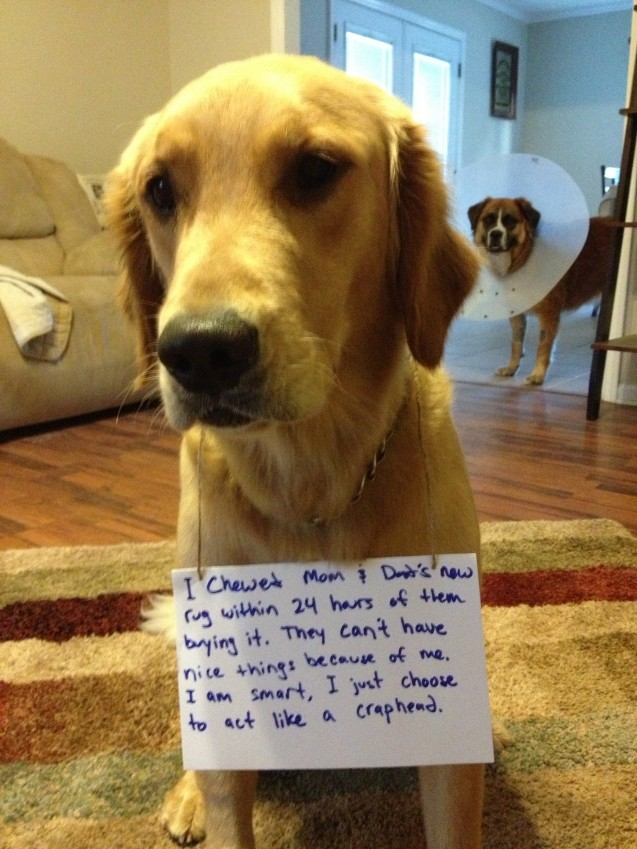 Rug Chewer Dogshaming