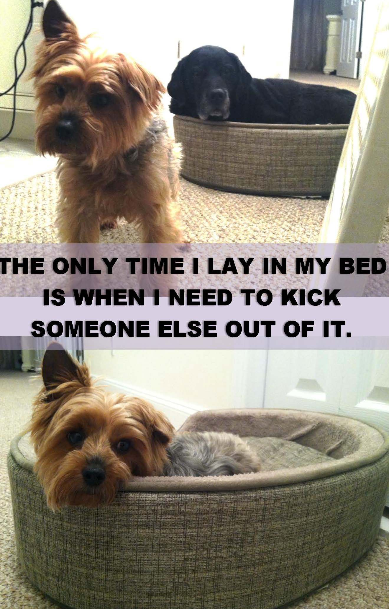 Dog hogging the bed - Once She Noticed That People Were Laughing At Cleo In The Little Dog Bed She Rushed Over And Barked Her Out
