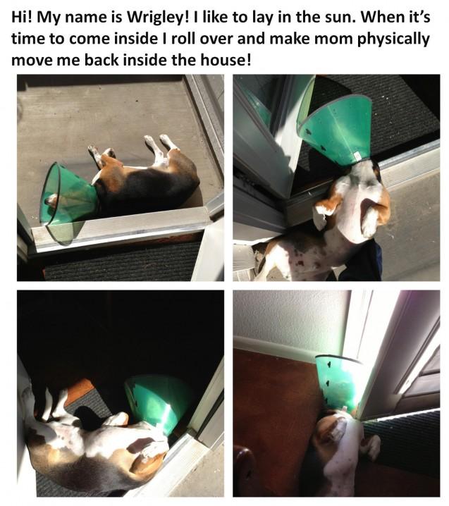 Wrigley-Dog-Shame