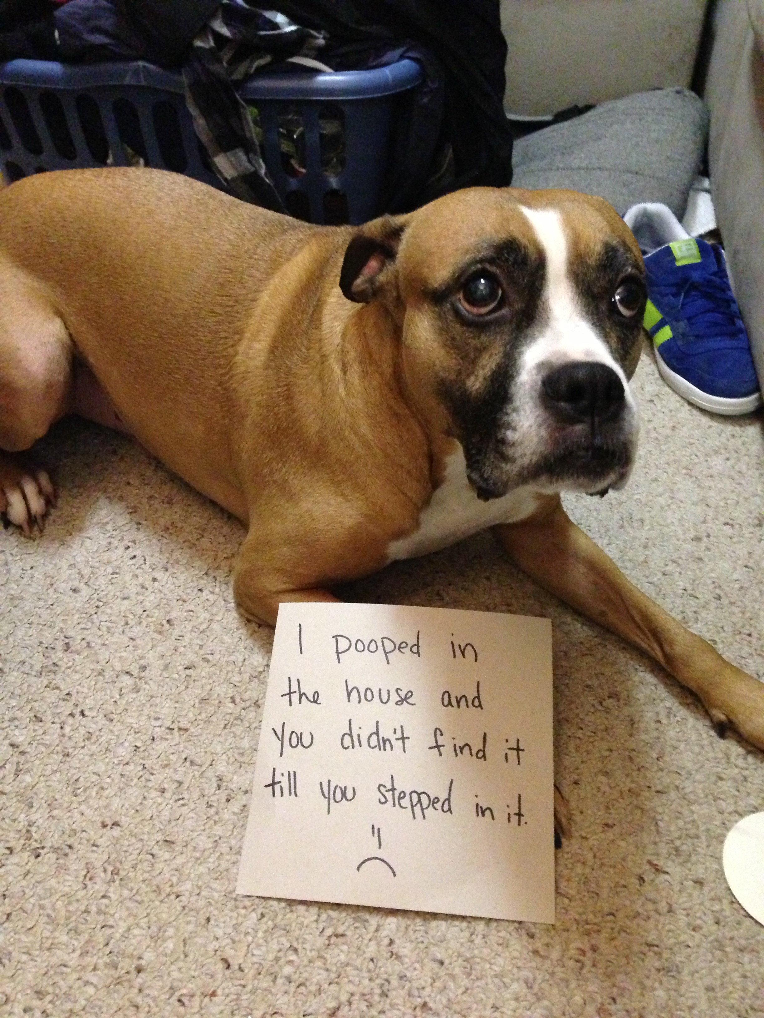 Sweet Bentley The Pooper Dogshaming