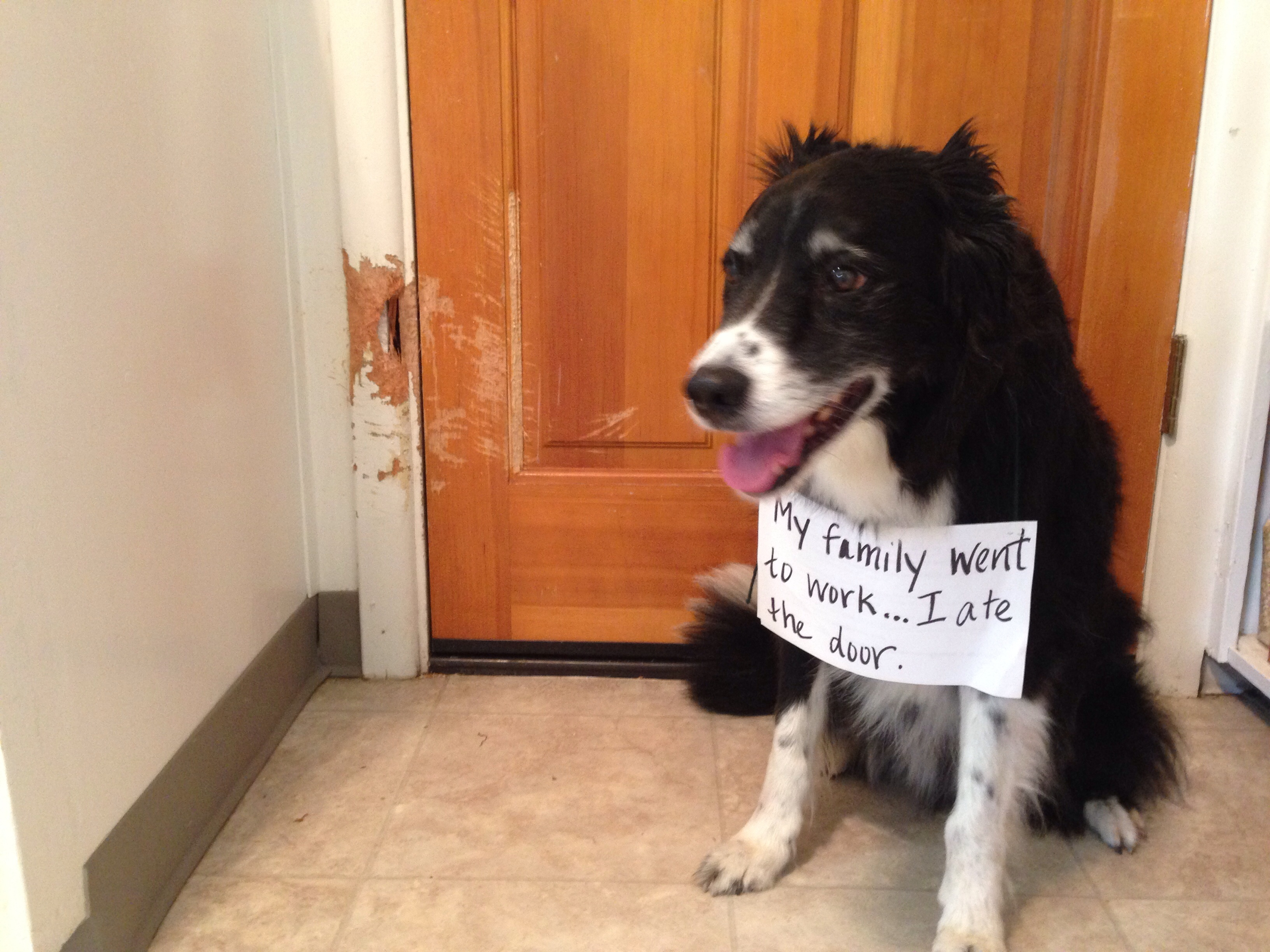 A Bored Border Collie Is A Bad Border Collie | Dog Shaming