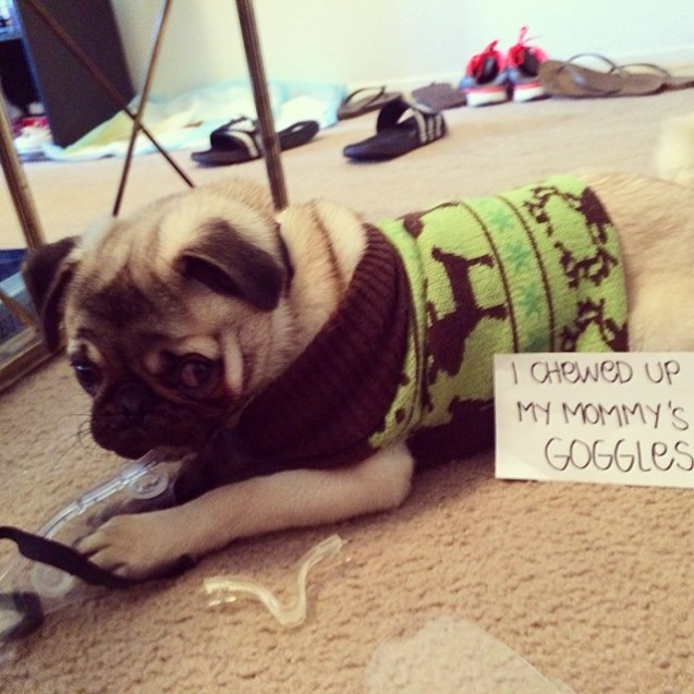 """Benji Faze Rug Dog Breed: """"I Chewed Up My Mommy's Goggles."""" Sorry Not Sorry"""