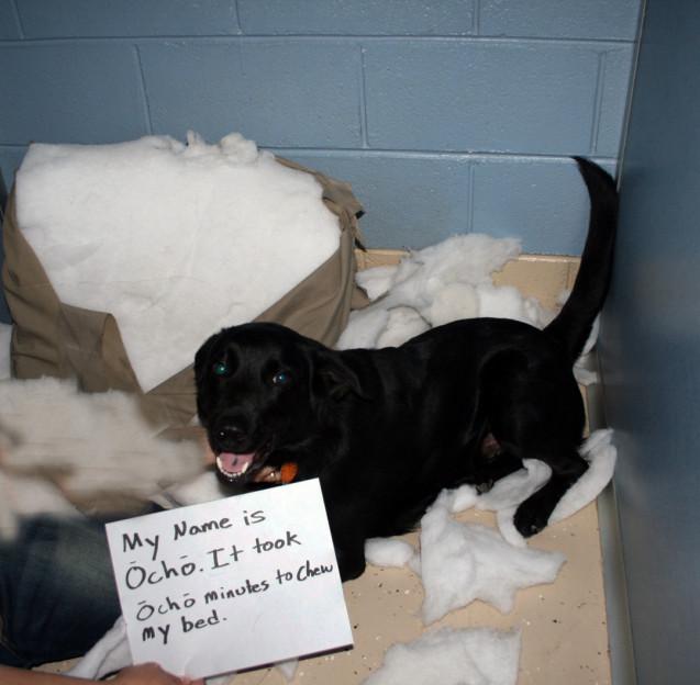 Ocho-chewed-bed