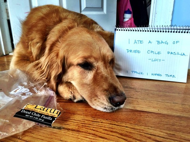 Our golden retriever usually prefers bread but today Lucy ate a whole xCDpgXwT