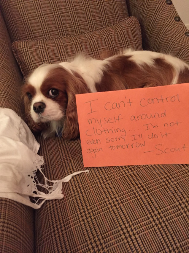 Dog-shaming-Scout