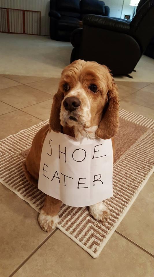 Resultado de imagen para cocker shoes eat